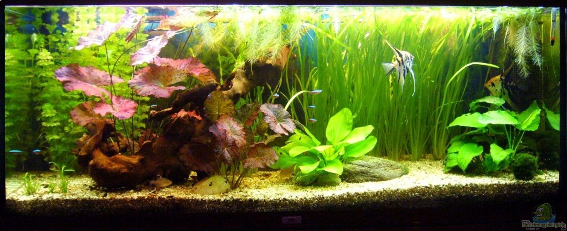 Aquarium von kim gesellschaftsbecken mit skalare for Skalar aquarium