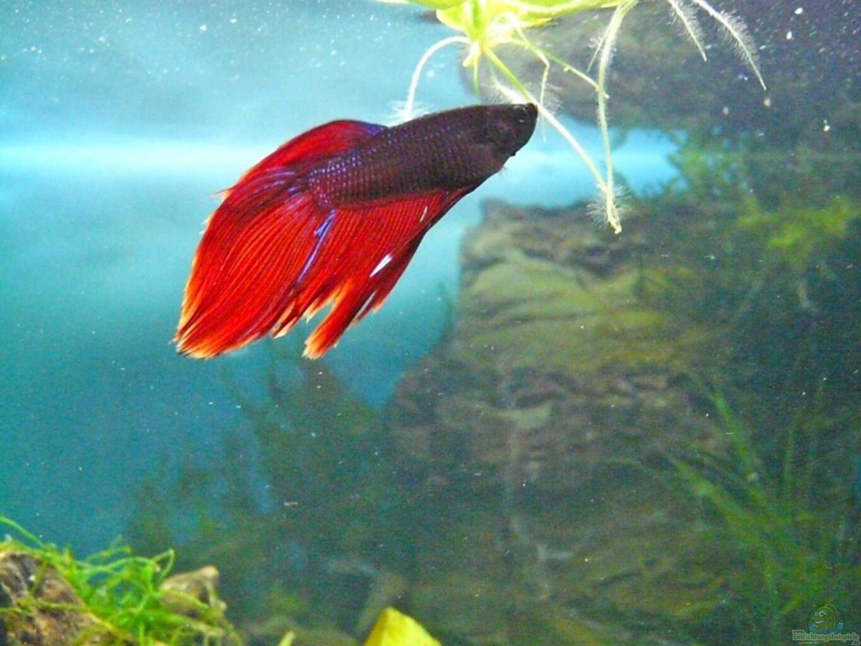 Aquarium von rupi99 becken 11982 for Kampffisch becken