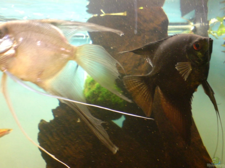 Aquarium von martin kaindl becken 12752 for Schwarzer skalar