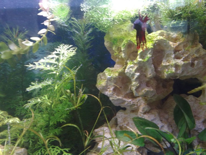 Aquarium von betty becken 13423 for Kampffisch becken