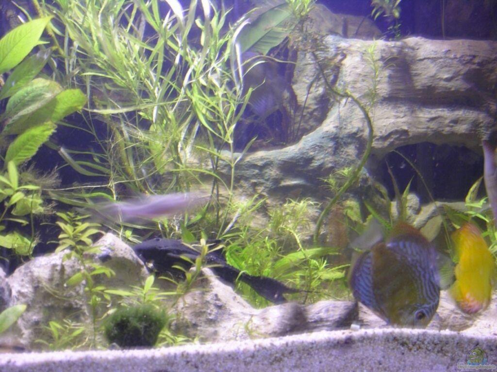 Aquarium von dornwels becken 13562 for Schwarzer skalar
