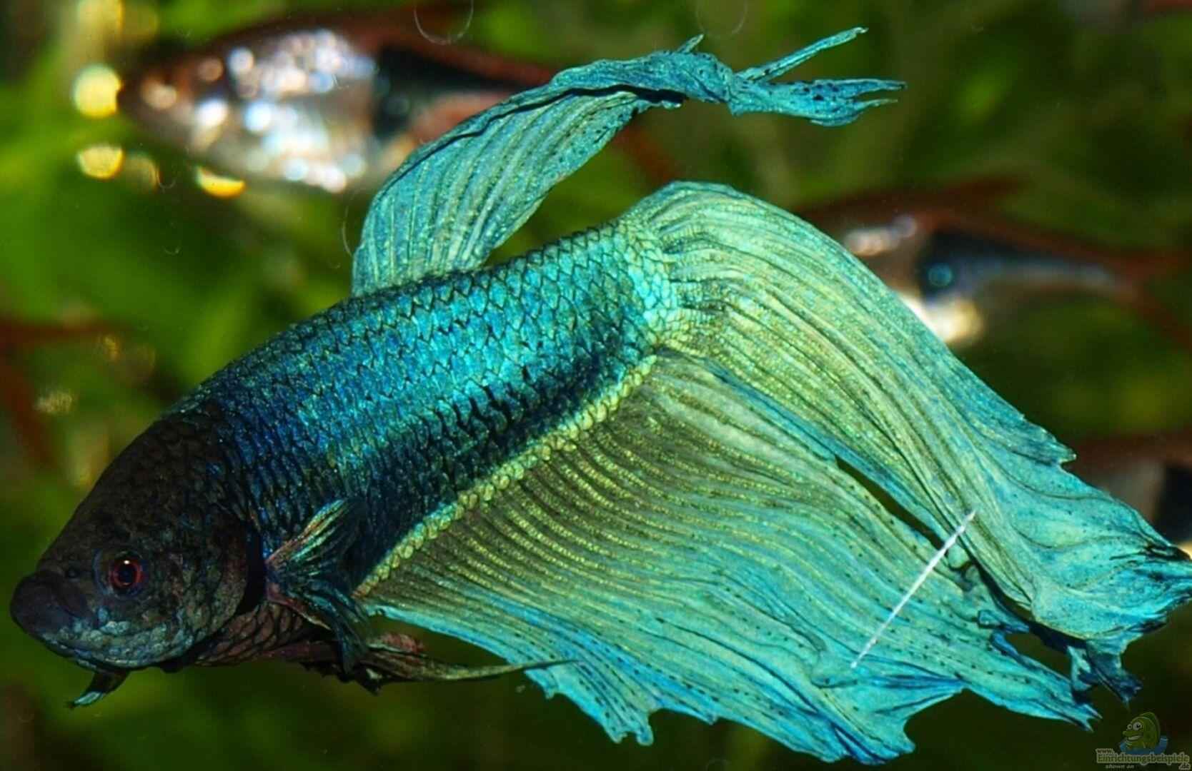 Aquarium von marion1705 becken 13653 for Kampffisch becken
