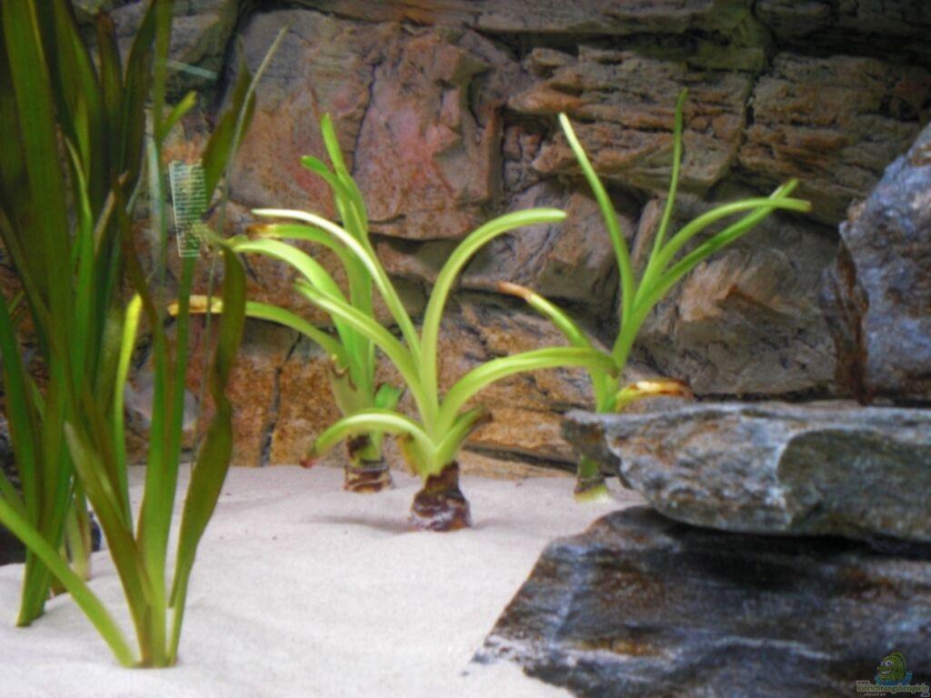 Картинки по запросу crinum thaianum