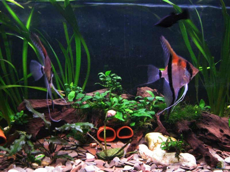 Aquarium von frank m ller 13729 mein stubenbecken for Skalar futter