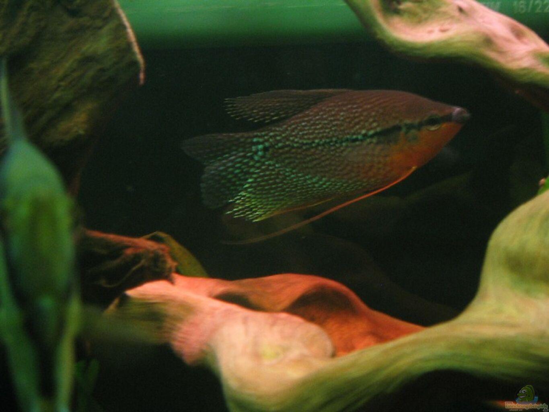 Aquarium von michael gerhardt becken 1377 for Schwarzer skalar