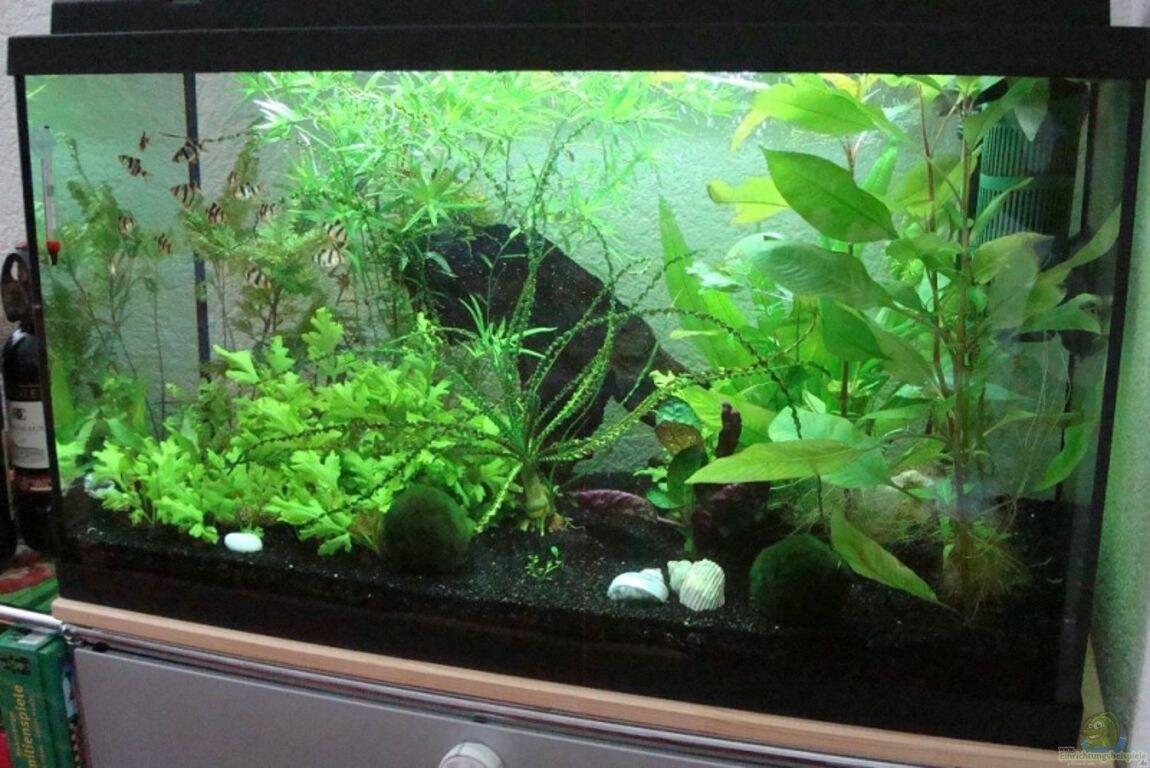 aquarium von tobi 88 sumatrabarben aquarium. Black Bedroom Furniture Sets. Home Design Ideas