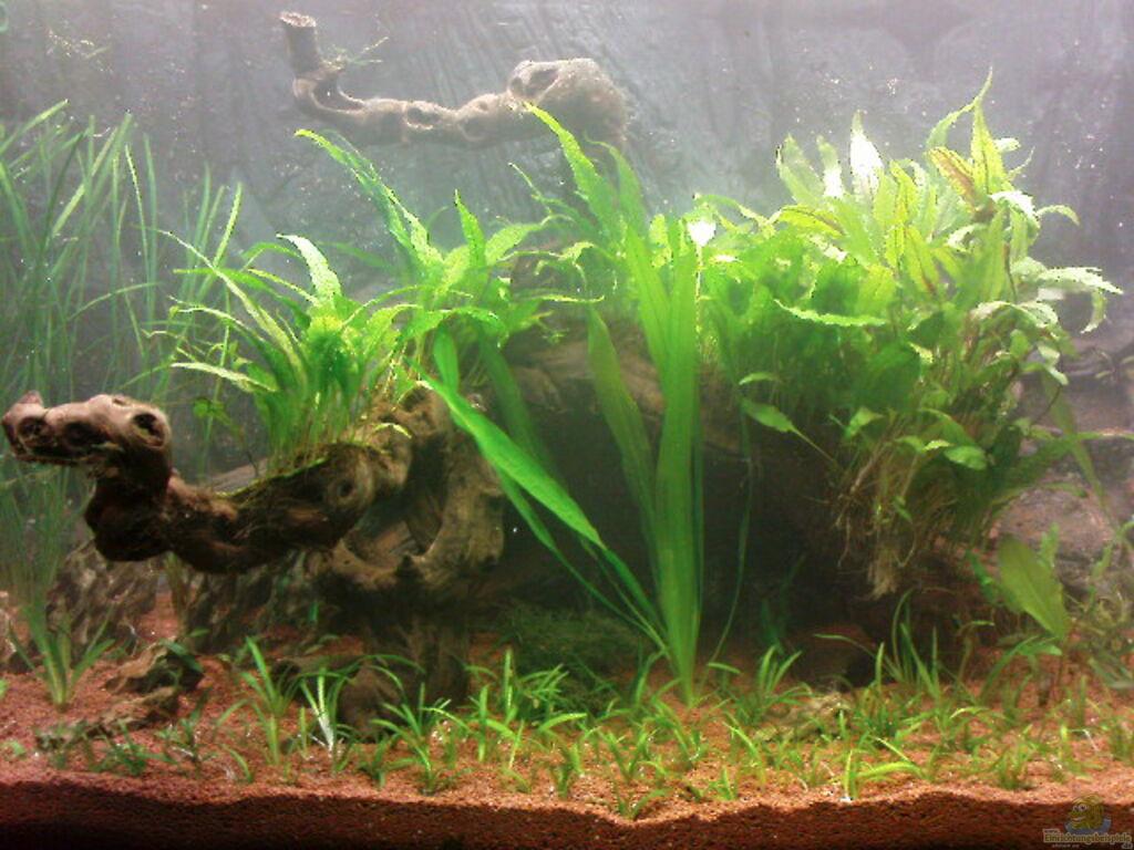 aquarien mit cryptocoryne wendtii gr ner wasserkelch. Black Bedroom Furniture Sets. Home Design Ideas