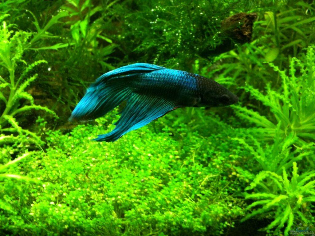Aquarium von tonistyle69 toni nano style for Kampffisch futter