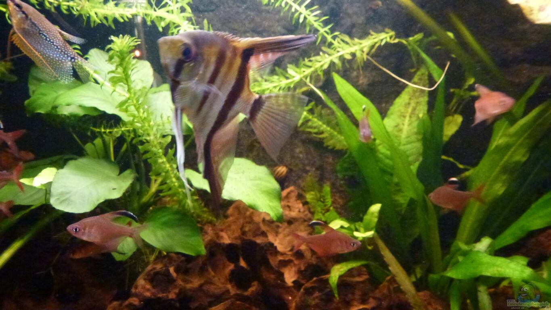 Aquarien mit pterophyllum scalare skalar for Skalar aquarium