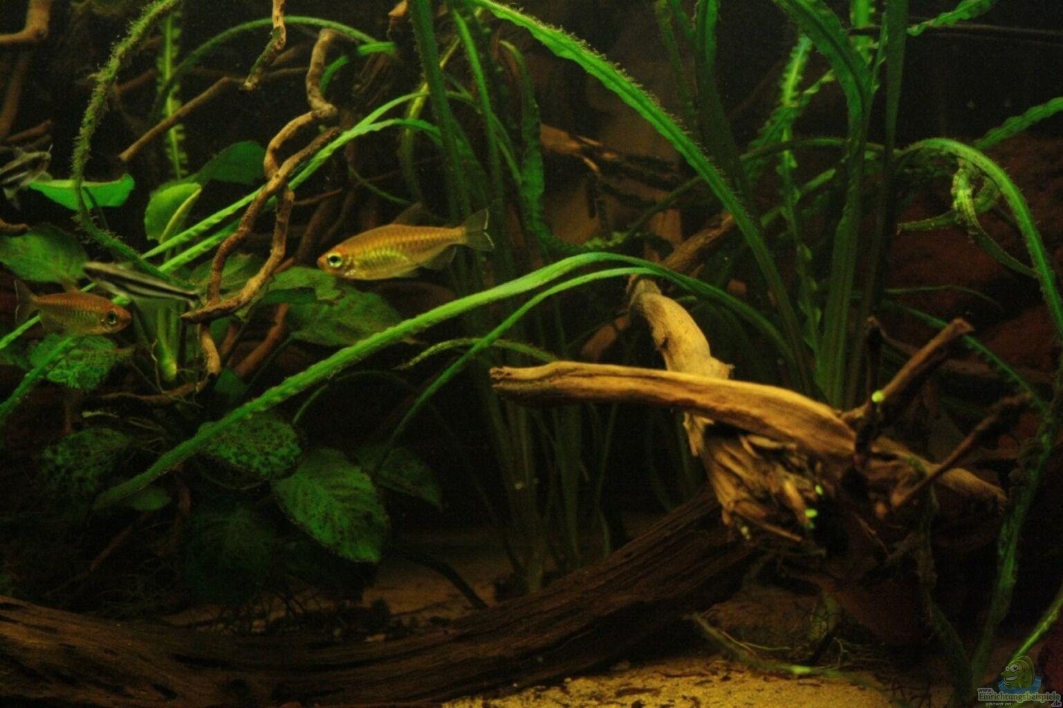 Algen aquarium awesome groenalg bestrijden in je aquarium for Fadenalgen entfernen