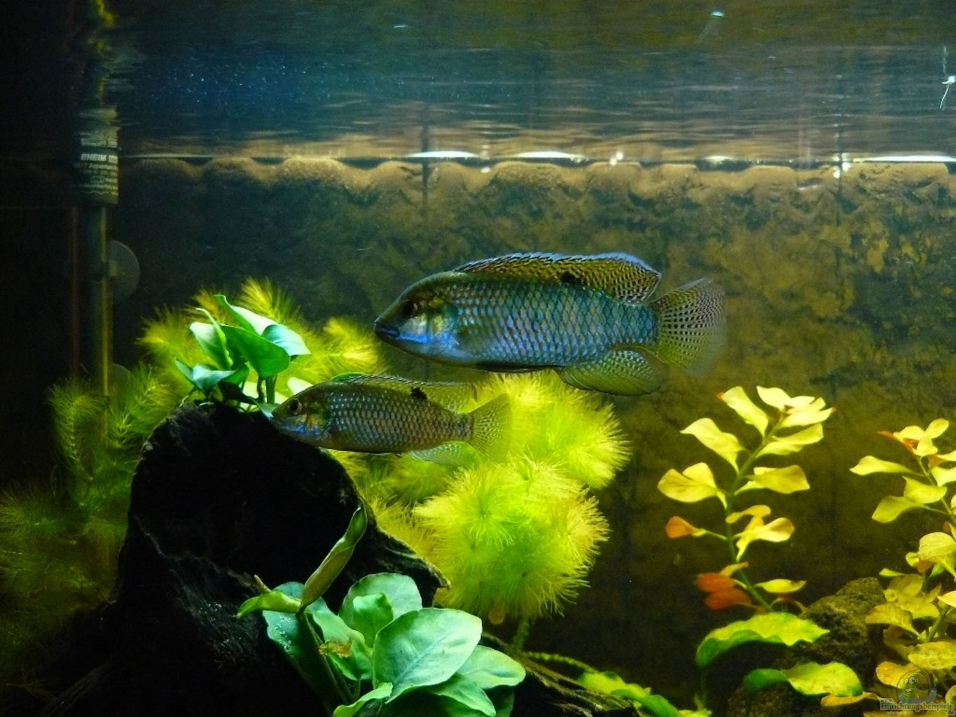 Example no 16010 from the category west central africa for Tilapia aquarium