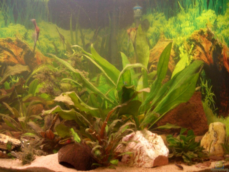 pflanzen im aquarium eckaquarium aus eckaquarium von andre. Black Bedroom Furniture Sets. Home Design Ideas