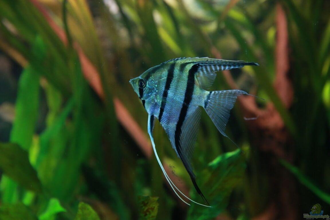 Aquarium von sarah mein eingebautes aufgel st for Skalar futter