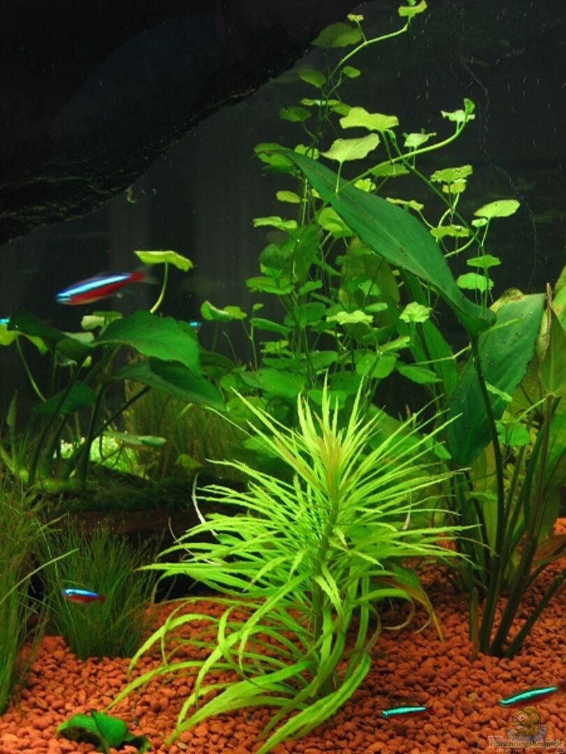 pflanzen im aquarium becken 1756 aus becken 1756 von hubert demonty. Black Bedroom Furniture Sets. Home Design Ideas
