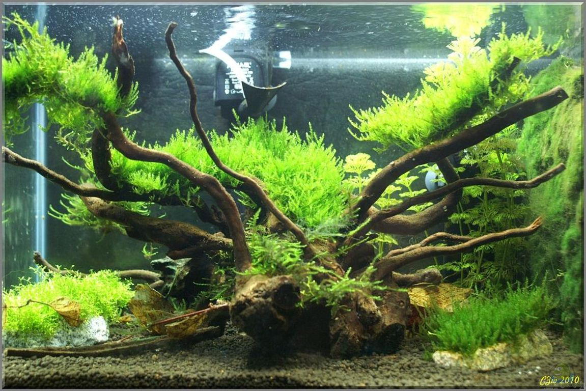 Aquarien mit taxiphyllum spec triangelmoos for Aquarium wurzel