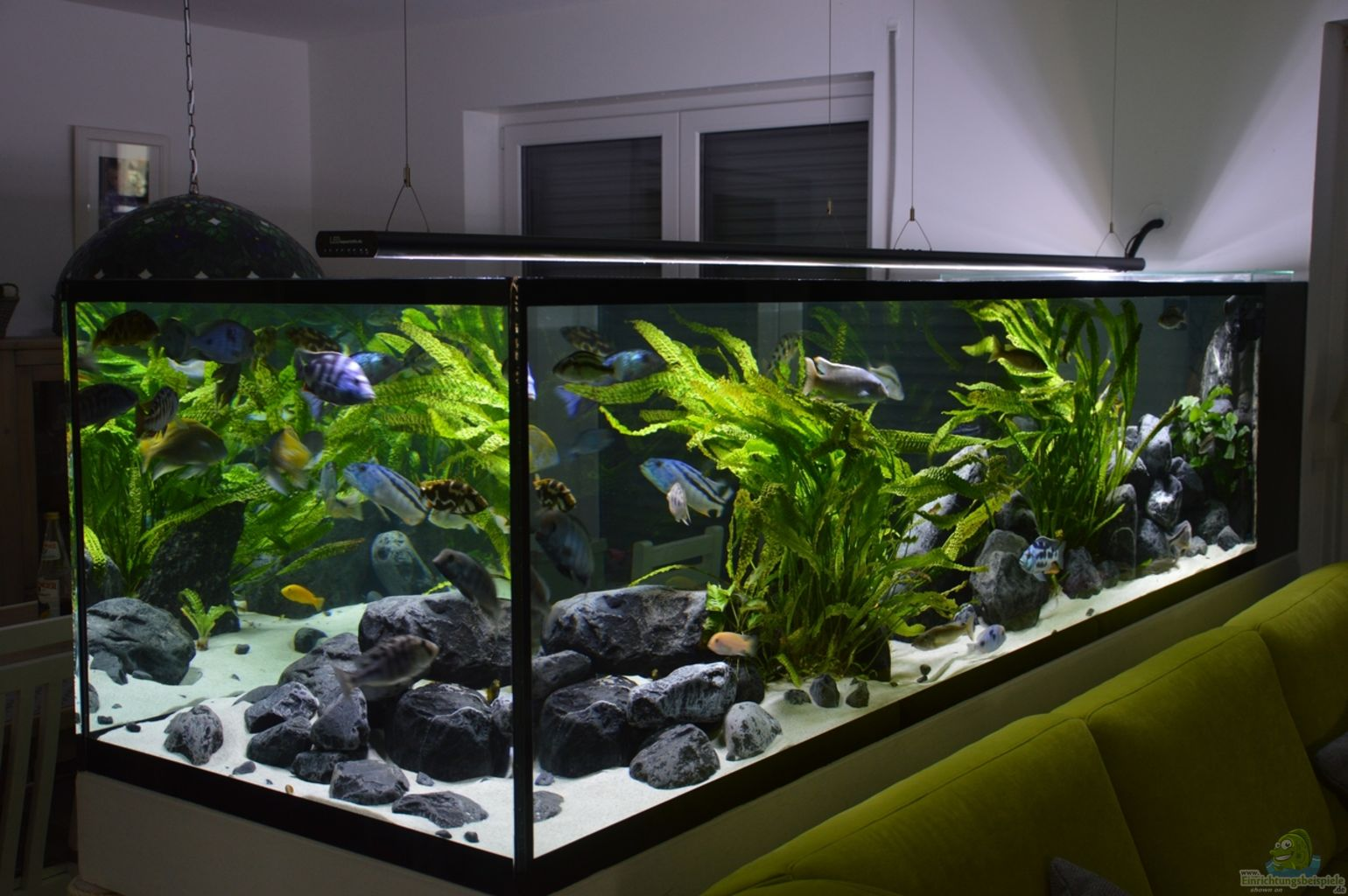 aquarium von dennis r malawi predator bay. Black Bedroom Furniture Sets. Home Design Ideas
