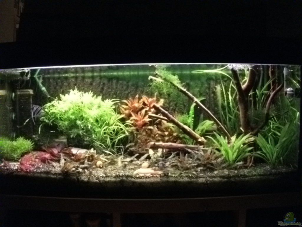 aquarien mit hygrophila difformis indischer wasserwedel. Black Bedroom Furniture Sets. Home Design Ideas