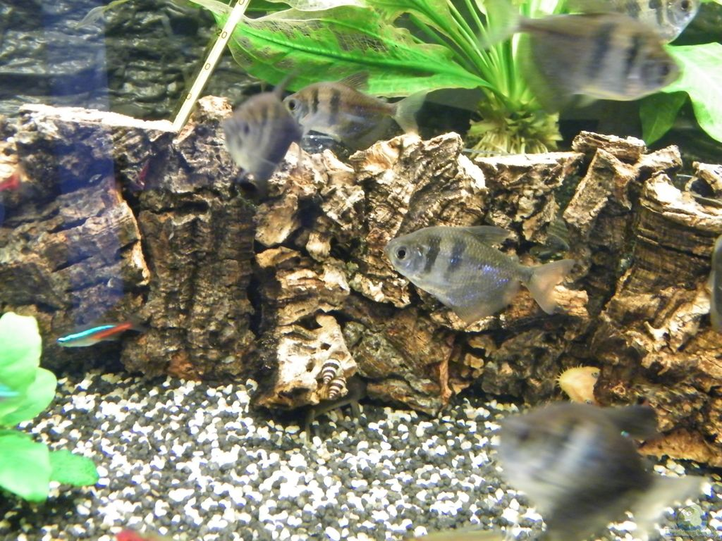 aquarien mit trauermantelsalmlern gymnocorymbus ternetzi. Black Bedroom Furniture Sets. Home Design Ideas
