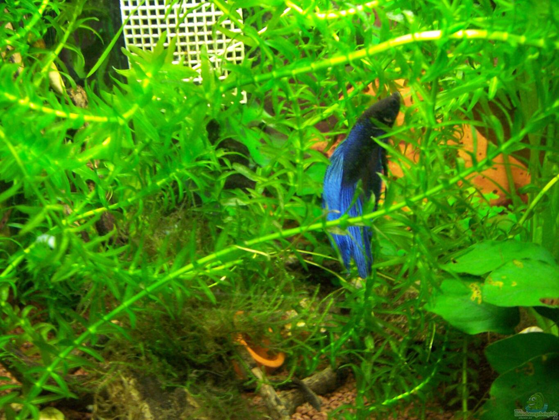 Aquarium von drako kampffisch tr umereien for Kampffisch futter