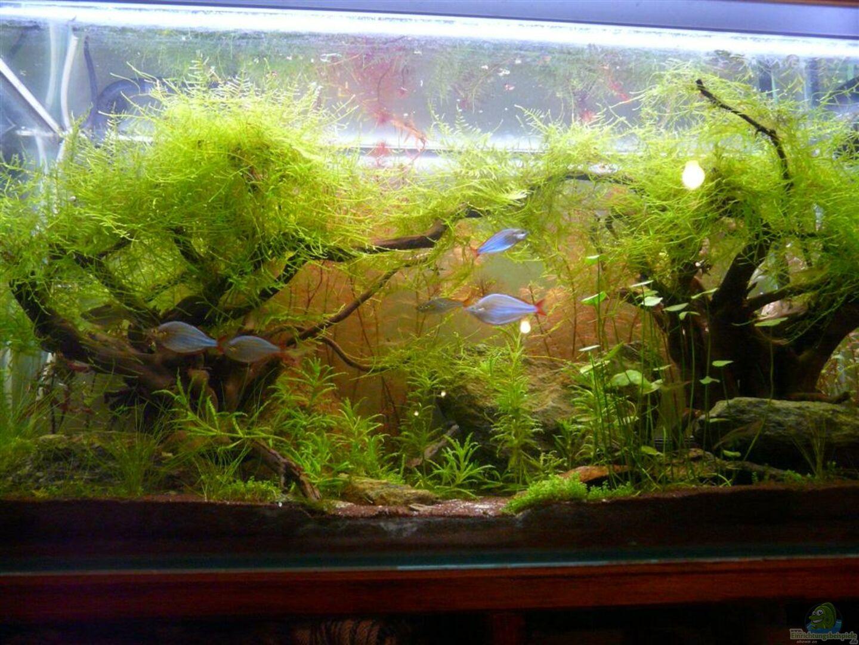 aquarium von moosbarbe 20578 zedernwald im herbst. Black Bedroom Furniture Sets. Home Design Ideas