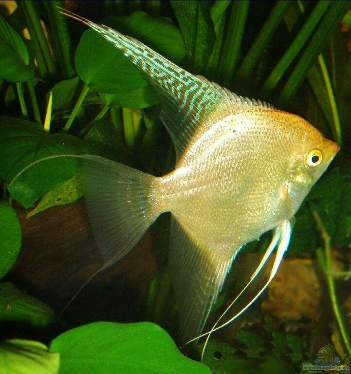 Aquarium von michael schacht becken 2084 for Schwarzer skalar
