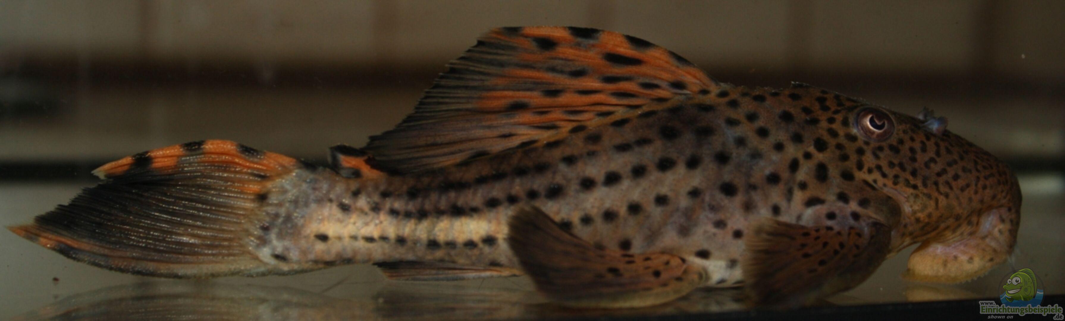 Aquarium von makirsch 21821 s damerika for Skalar futter