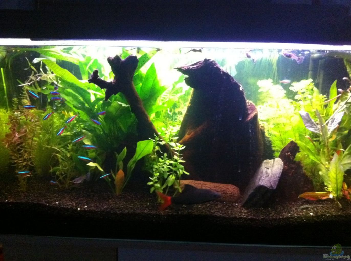 Example no 22079 from the category community tanks for Mein aquarium