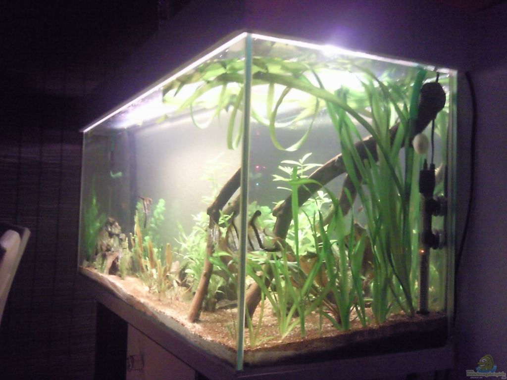 Aquarium von skalarfreak skalar bottich for Skalar aquarium