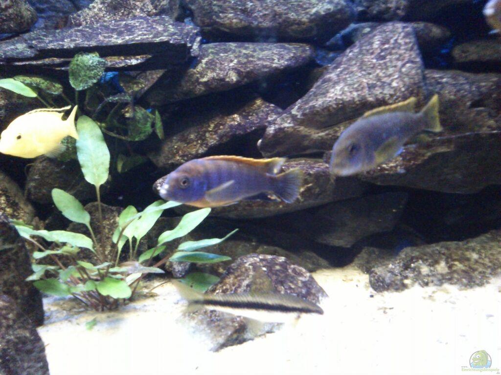 Aquarium von stulli mein erstes malawibecken for Mein aquarium