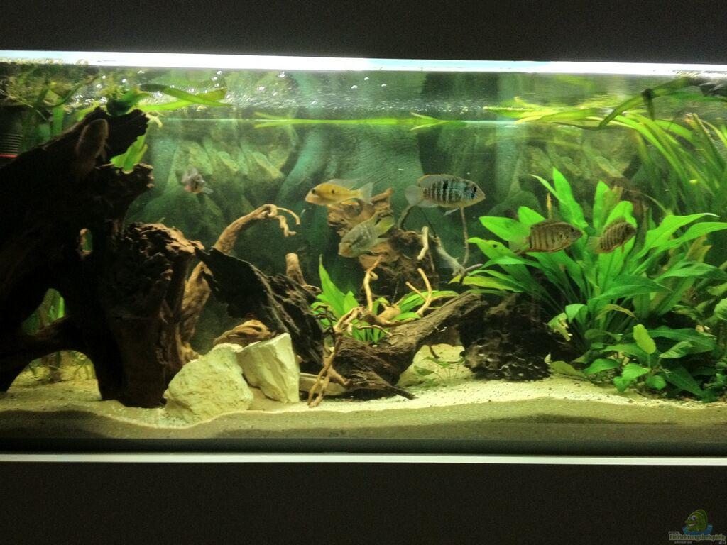 aquarium von gr ffelo s damerika buntbarsche. Black Bedroom Furniture Sets. Home Design Ideas