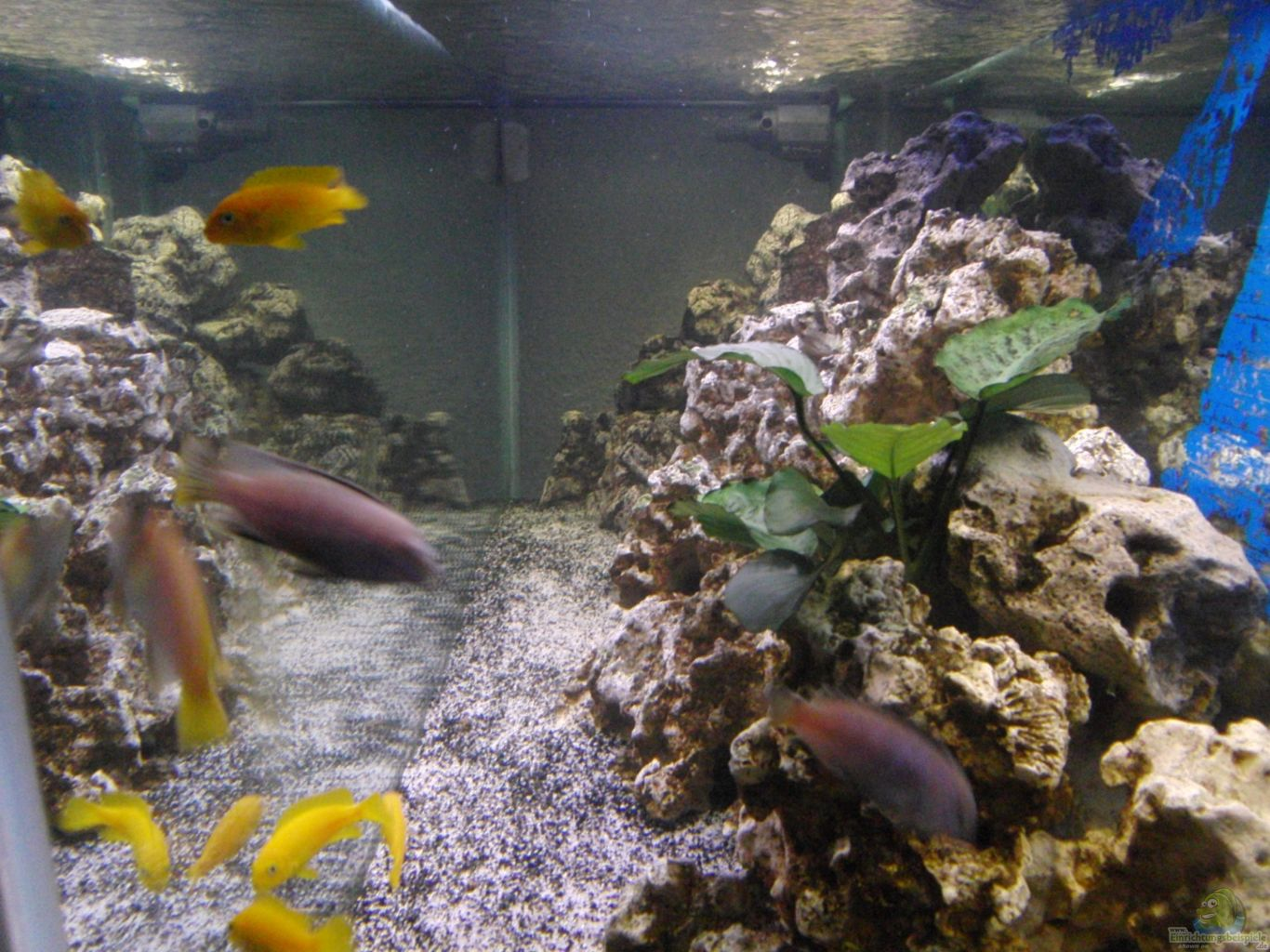 Example no 22272 from the category lake malawi for Aquarium 120x40x50
