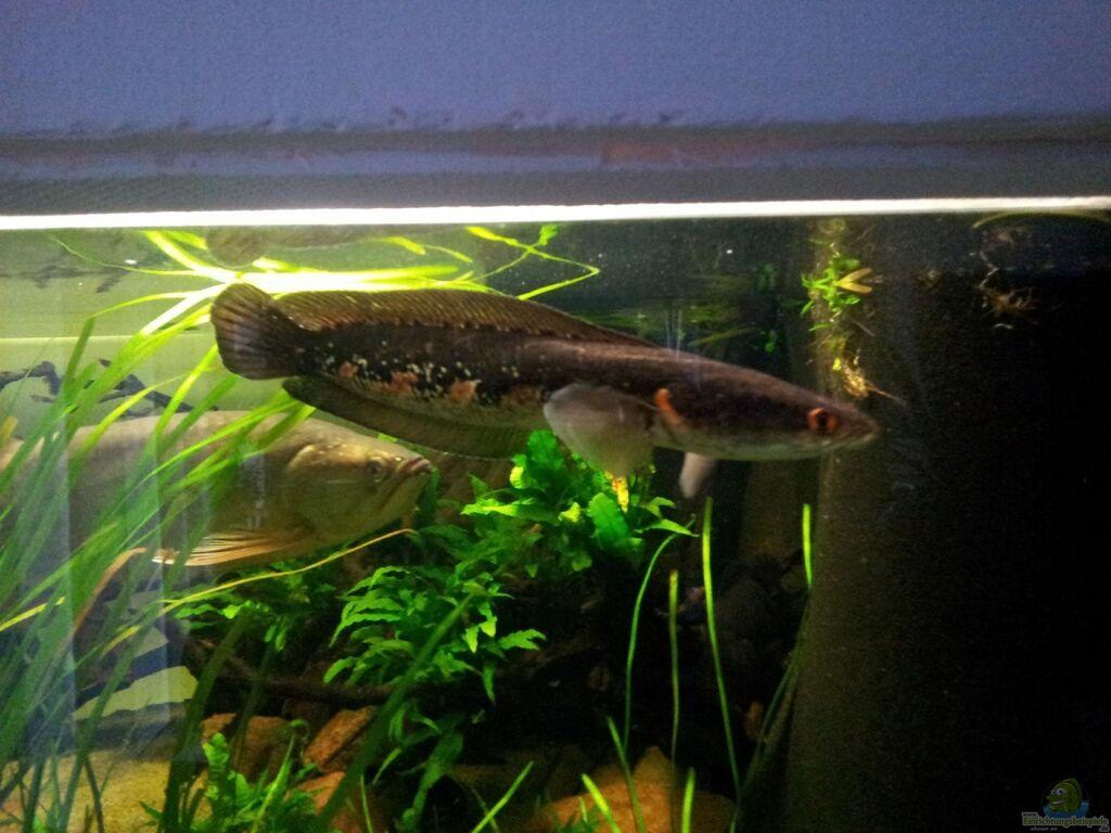 Aquarien mit schlangenkopffischen (channa, parachanna)