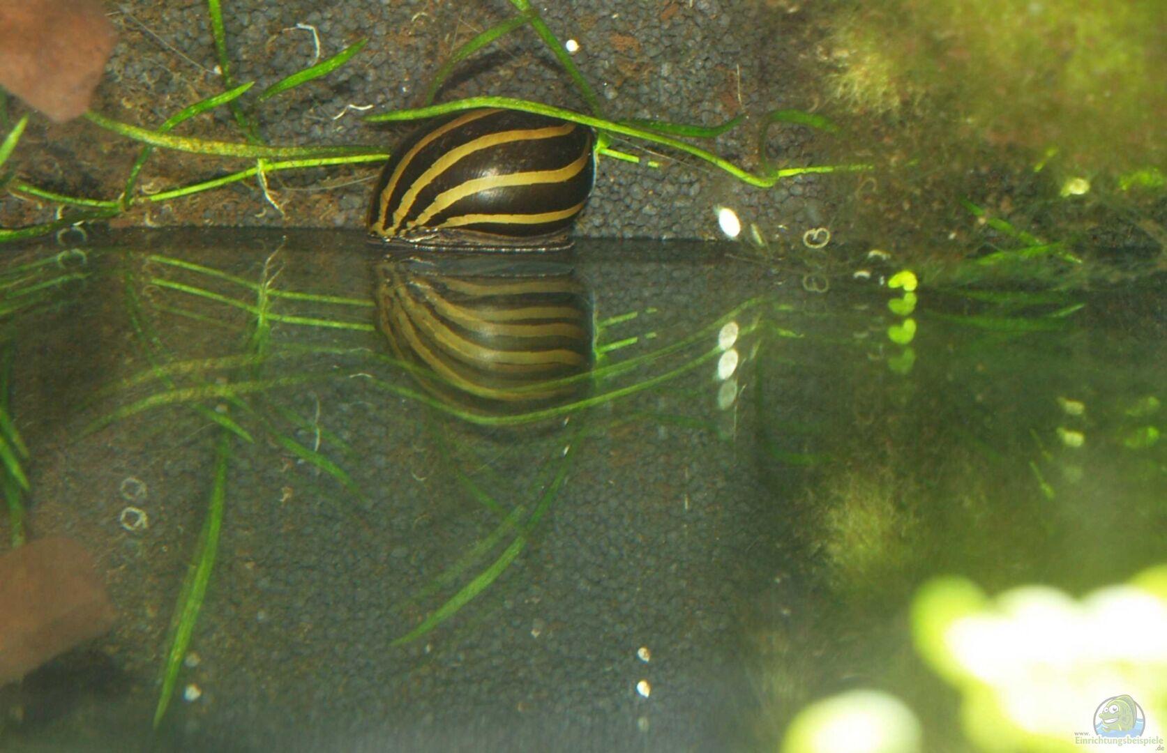 Aquarium von algernon 22497 tranquillitas pugnatoris for Kampffisch futter