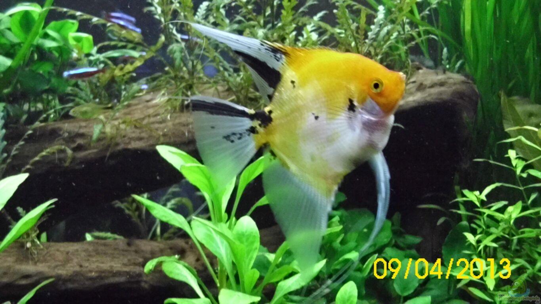 Aquarium von g nther kr ger raumteiler s damerika gesb for Skalare zucht