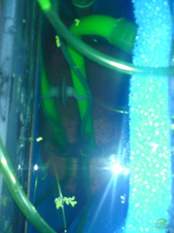 Aquarium von pinkie einlaufphase naturbecken for Fadenfische zucht