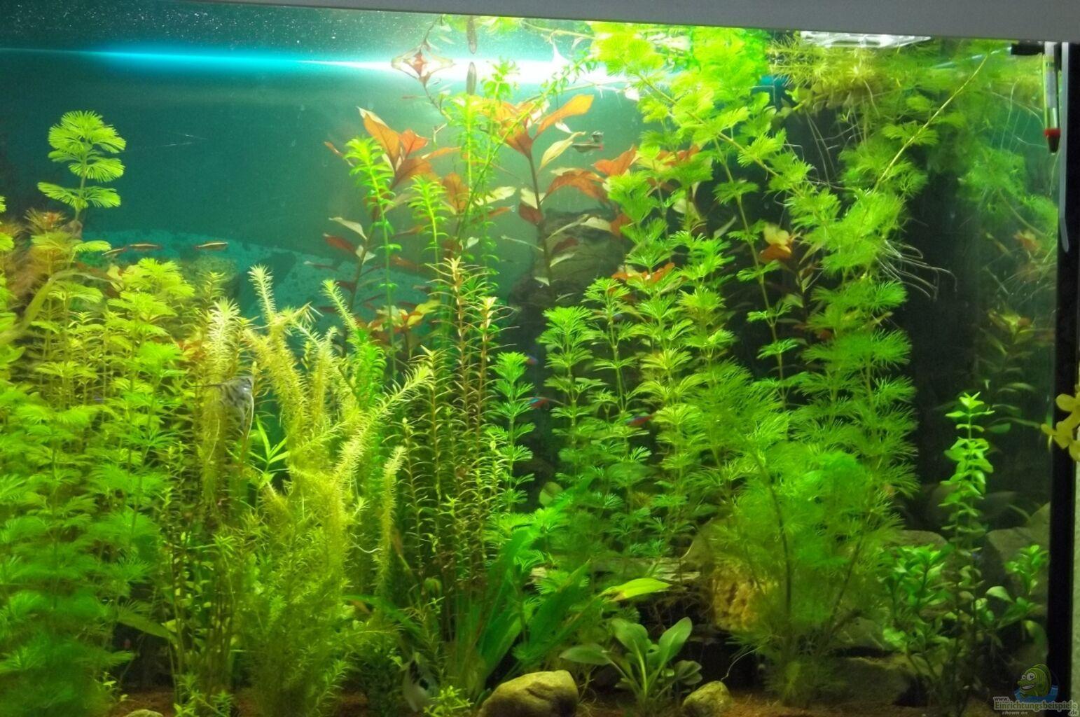 Grune haare im aquarium
