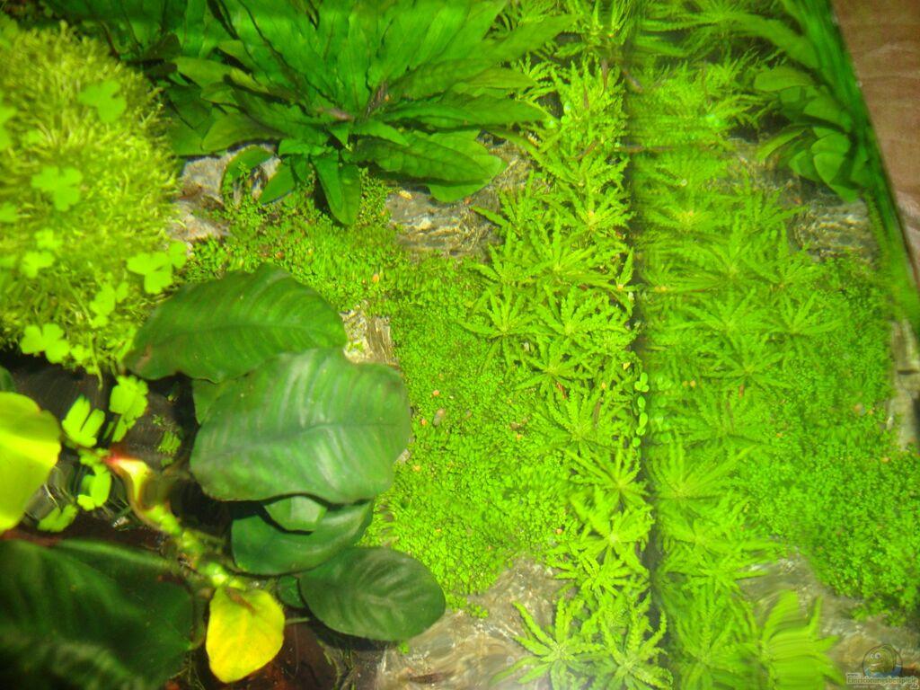pflanzen im aquarium nano cube 60 liter aus nano cube 60 liter von christoph luz. Black Bedroom Furniture Sets. Home Design Ideas