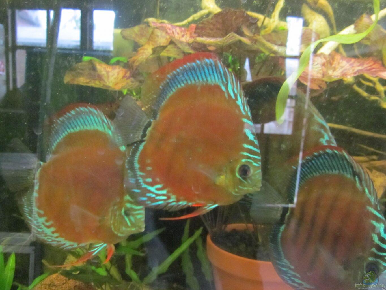 Amamazonas diskus diskus traum abgebaut for Diskus aquarium