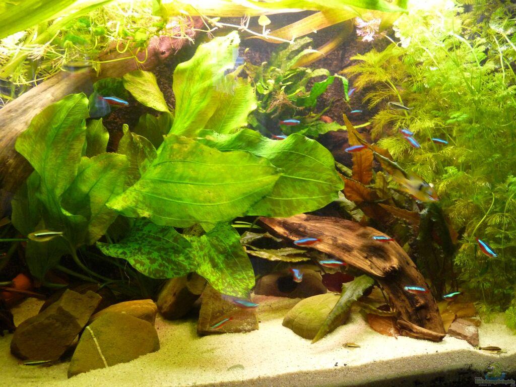 aquarium pflanzen südamerika