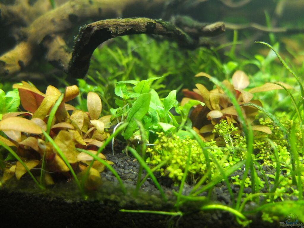 aquarien mit staurogyne repens kriechende staurogyne. Black Bedroom Furniture Sets. Home Design Ideas