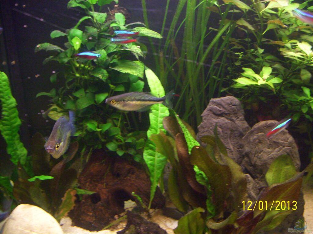Aquarien mit regenbogenfische (melanotaeniidae)