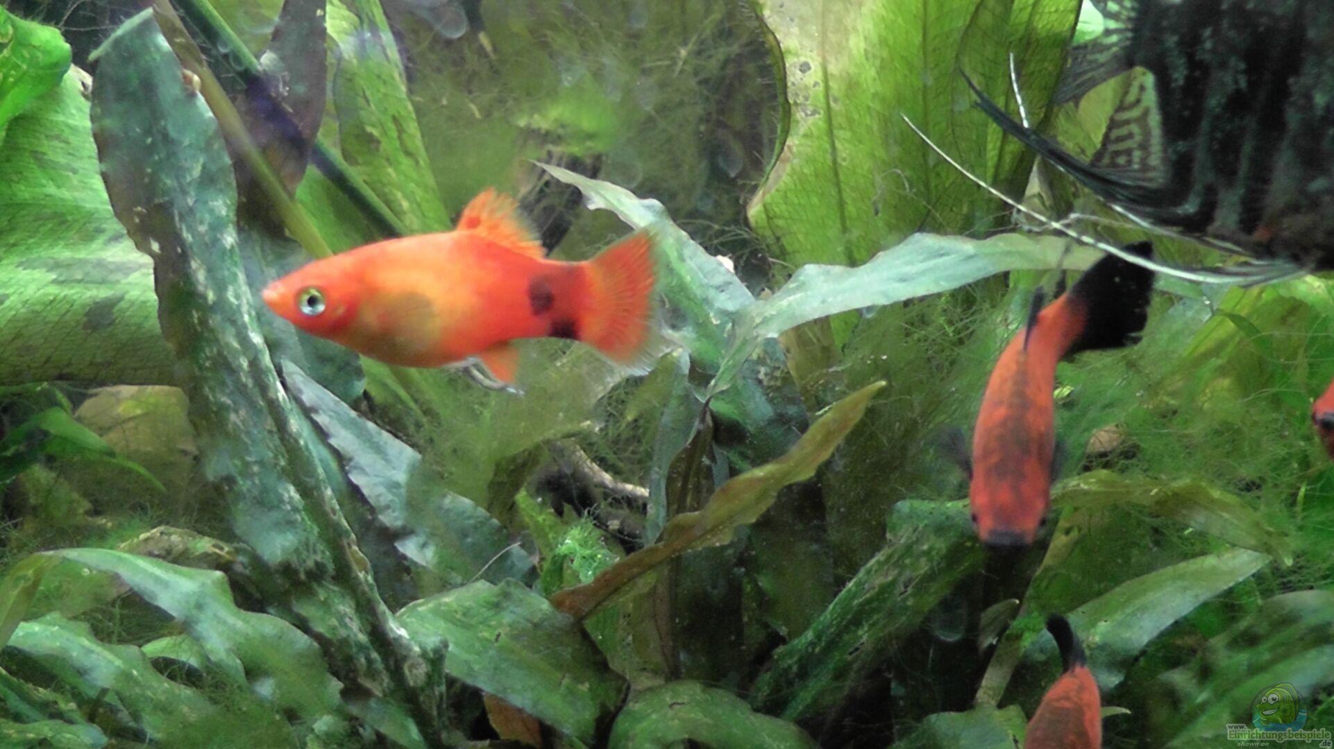 Aquarium von kimberly becken 25080 for Skalar futter