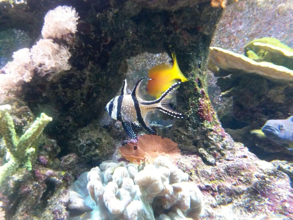 Aquarien mit pterapogon kauderni kardinalbarsch for Zierfische aquarium