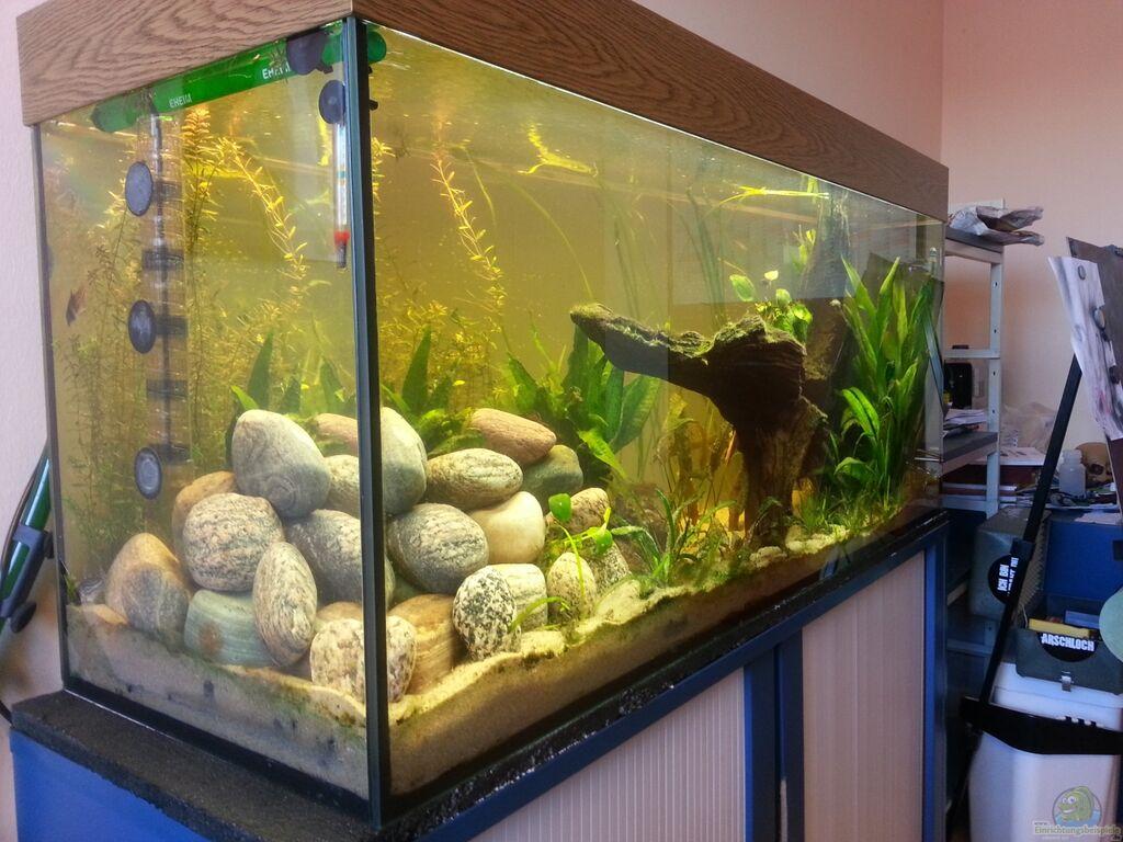 Der dreiäugige goldfisch: mittelamerika meeki becken