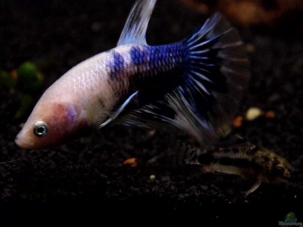 Aquarien mit betta splendens siamesischer kampffisch for Kampffisch betta