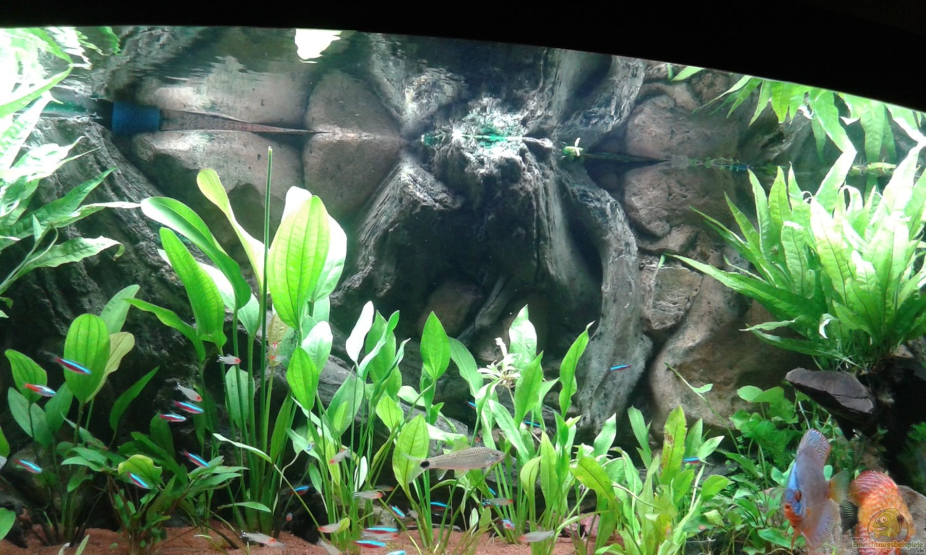 pflanzen im aquarium juwel diskus amazonas aus juwel. Black Bedroom Furniture Sets. Home Design Ideas