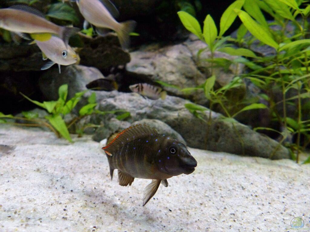 Einrichtungsbeispiele für tanganjika aquarien