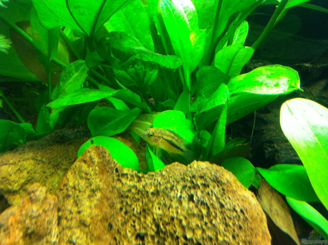 Armoured catfish aquarium