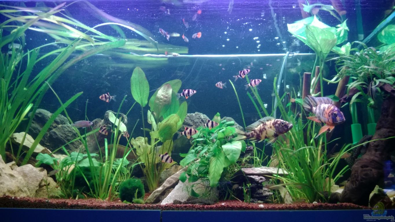 Aquarium von sanchez79 barschbecken for Aquarium zierfische