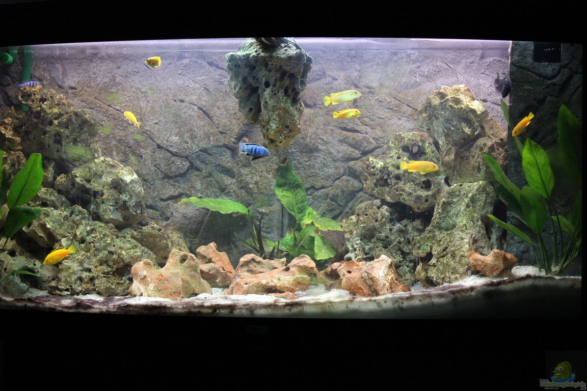 aquarium von noah99 mbuna paradies malawi. Black Bedroom Furniture Sets. Home Design Ideas